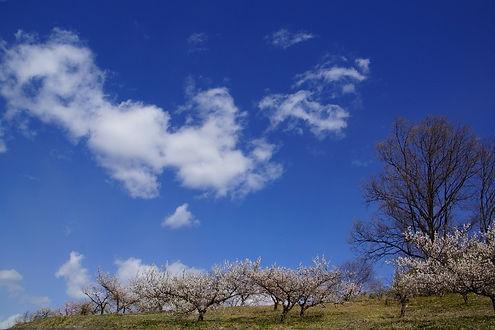 kachida-plum-garden1.jpg
