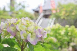 金泉寺のアジサイ