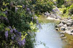 谷川橋の藤