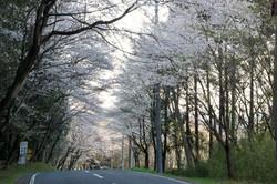 笛吹峠の桜