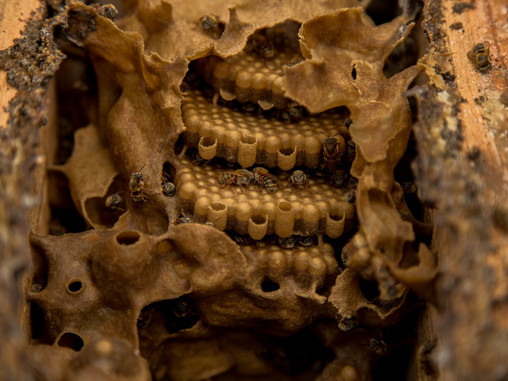 State Of Yucatan Celebrates World Bee Day With The Kingdom Of The Melipona Bee