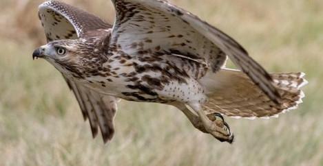 Red Tailed Hawk, Louisiana