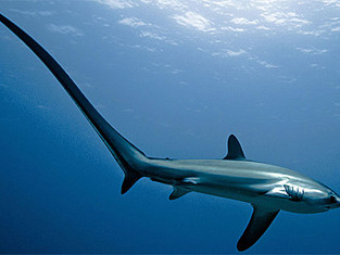 Yet Another Shark Added to the List of Endangered Species