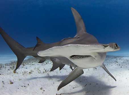 The Hammerhead: why is it legal to kill an endangered species?