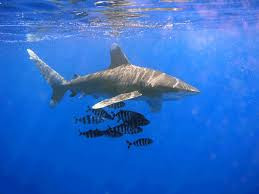 The Effect of Chumming and Bait Diving on Shark Behavior