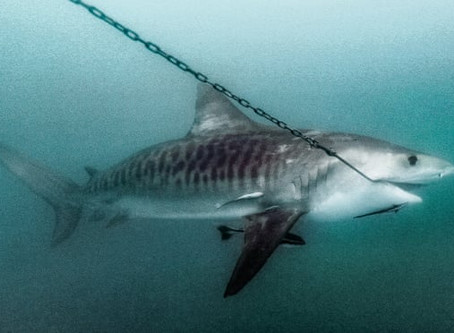 Court Rejects Appeal, Ruling in Favor of Sharks