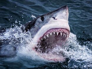Shark Week: friend to the shark?