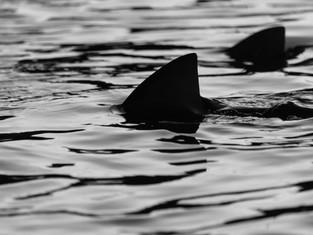 The World is Saving Sharks