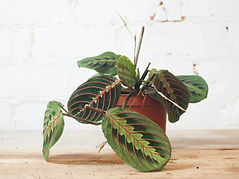 Maranta fascinator - Trailing plants