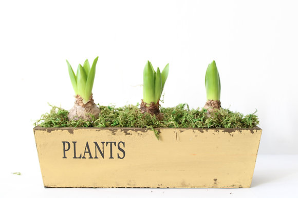 Hyacinths in Planter