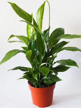 Spathiphyllum 'Alana'