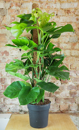 Monstera Deliciosa with moss pole.