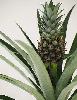 Ananas 'Champaca'