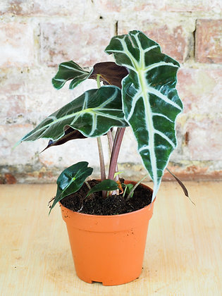 "Alocasia ""Polly"""