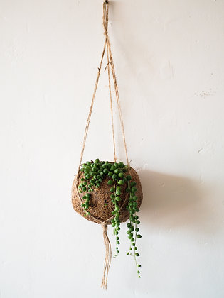 String of Pearls in Kokedama Hanger