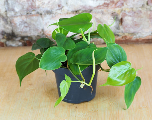Trailing Philodendron Scandens