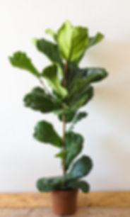 Fiddle leaf fig - Ficus Lyrata