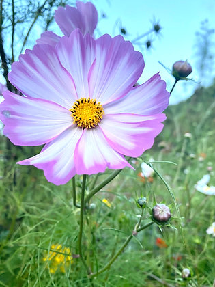 Special Pink and White Cosmos