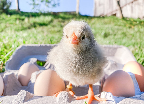 Chicks available NOW!