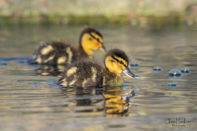 Ducklings-4.jpg