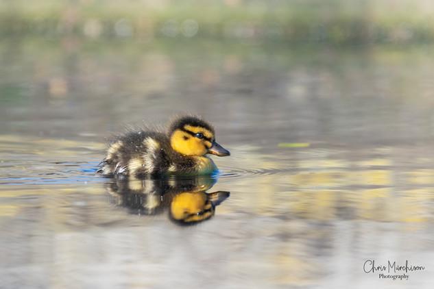 Ducklings-1.jpg