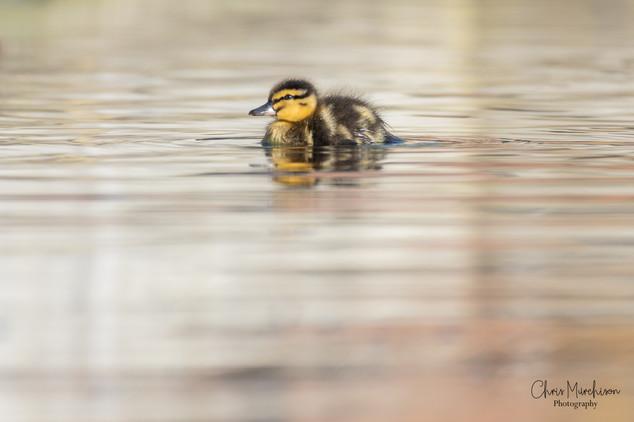Ducklings-3.jpg