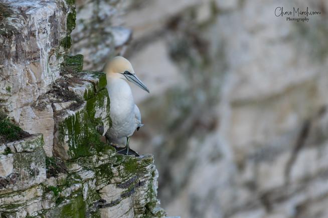 Gannet on Cliff