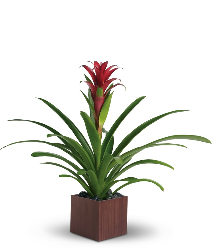Bromeliad - Purple
