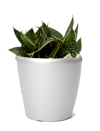 Sansevieria Birds Nest