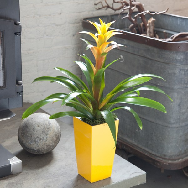 Bromeliad - Yellow