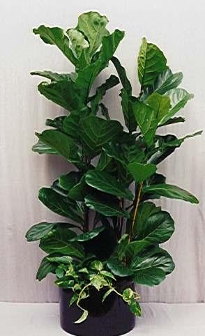Ficus Lyrata (Fig)