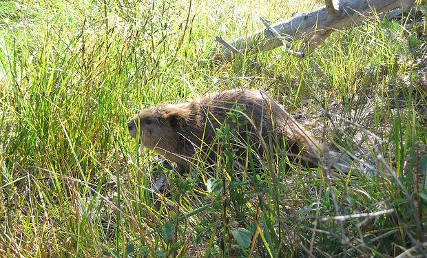 beaver release 2.JPG