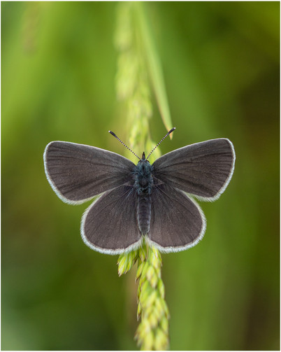 Small Blue female