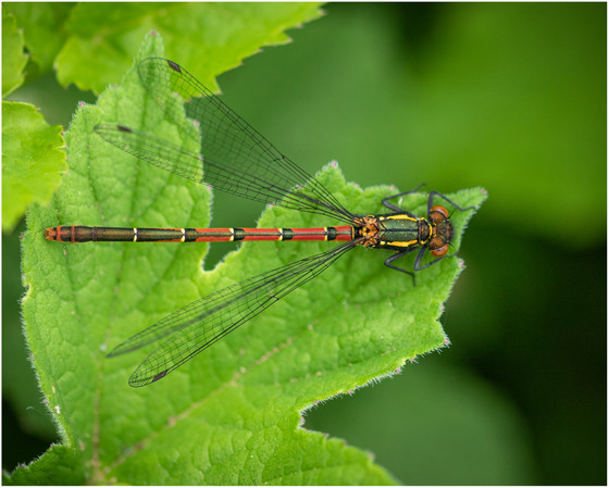 Female Large Red Damselfly