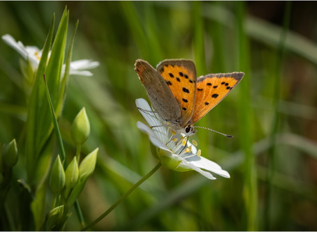 Small Coppers