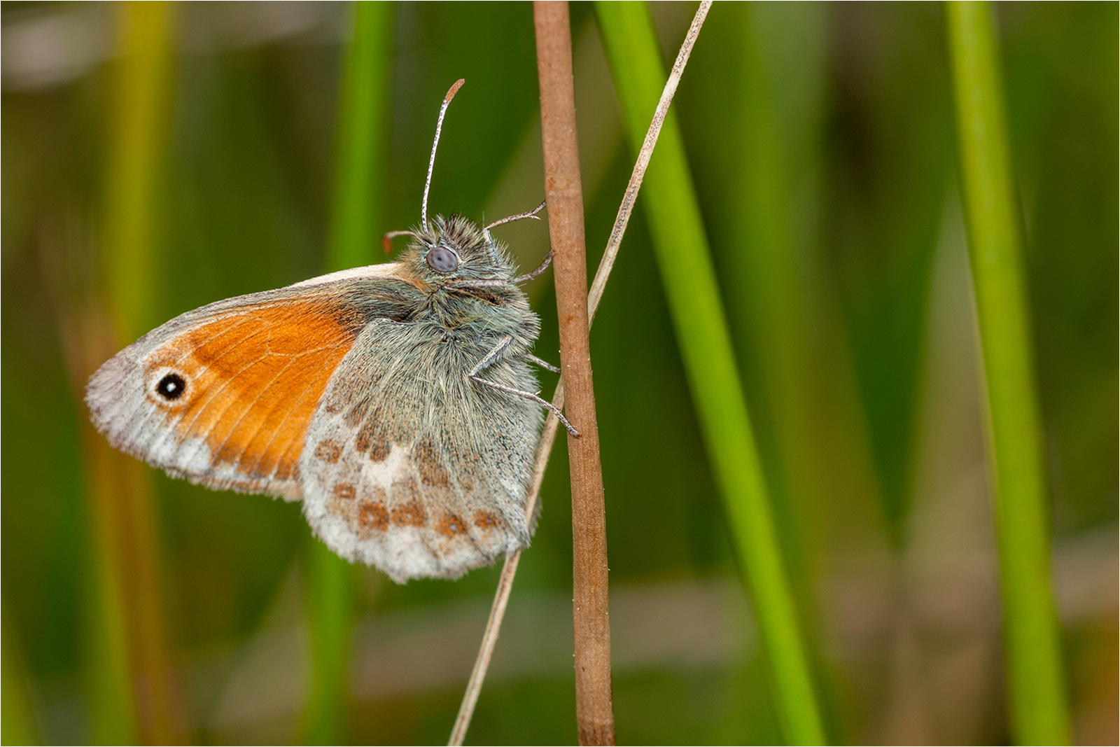 9 Small Heath Butterfly
