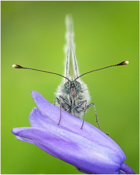 Green-veined White by Ben Freeman