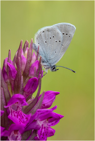 Small Blue Butterfly on a Northern Marsh Orchid