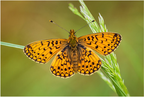 Small Pearl-bordered Fritillary (male)