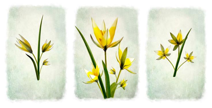 Yellow Tulip by Beryl Woodger