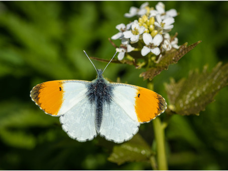Orange-tips (and some background ramblings)
