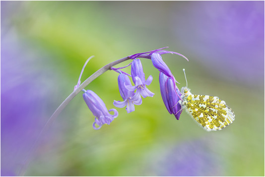 Orange-tip by Ben Freeman