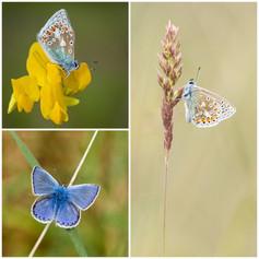Butterflies of Angus and Aberdeenshire