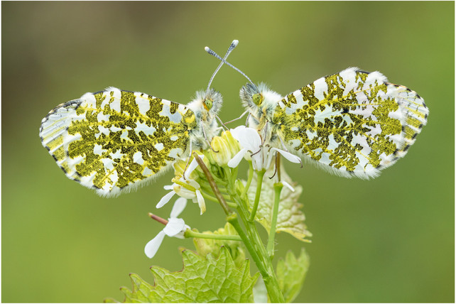 Orange-tip pair