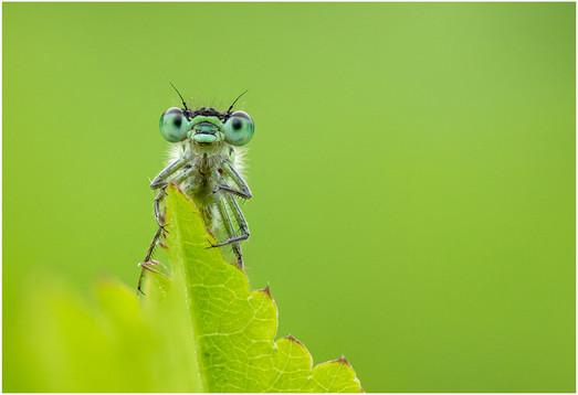 Blue-tailed Damselfly by Ben Freeman