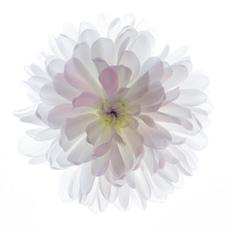 Chrysanthemum by Chris Beattie