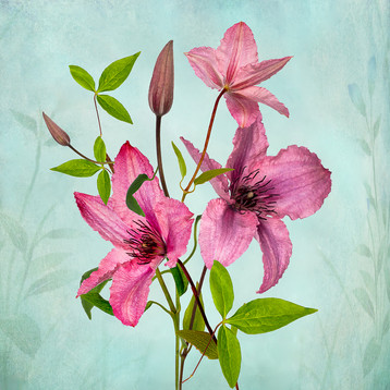 Clematis by Beryl Woodger