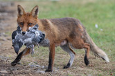 Wild Urban Fox Family
