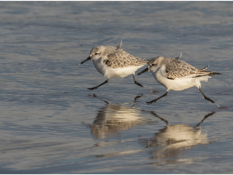 Sandpipers are a diverse family