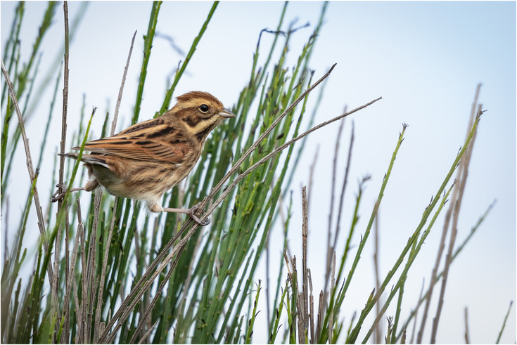 Reed Bunting (f)